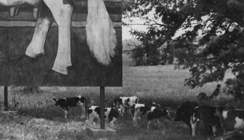 Dairy cows roam around The Guernsey Cow billboard in Exton, PA
